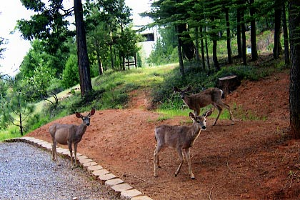 Deer wandering in the summer